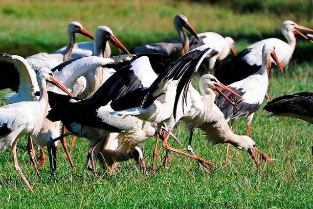 Rekordjahr beim Storchennachwuchs im südlichen Markgräflerland