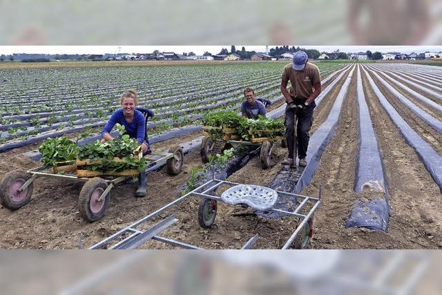 Pflanzzeit für die Erdbeeren in Ried