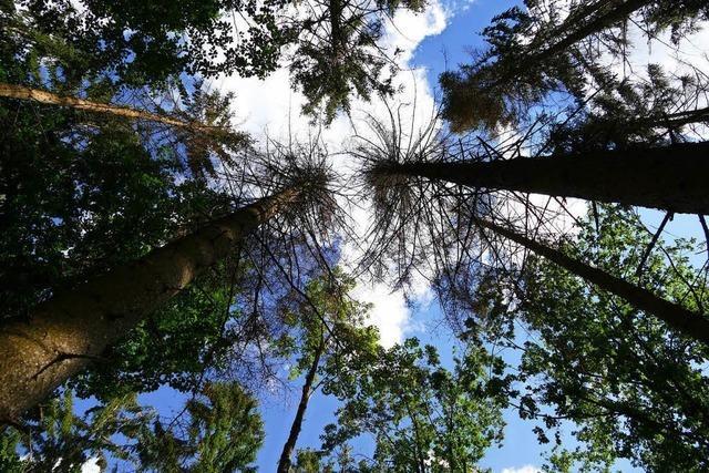 Harzige Zeiten für den Schopfheimer Wald
