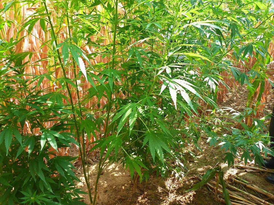 Getarnt im Maisfeld: die Marihuana-Pflanzen in Kirchhofen    Foto: Polizei