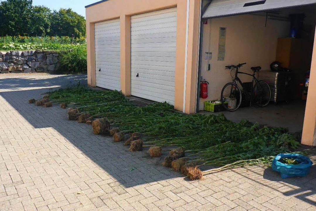 Die Polizei hat die Pflanzen aus dem Feld geholt.    Foto: Polizei