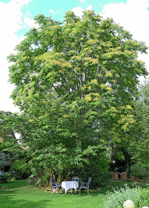 Der Götterbaum überragt den Garten von...em gibt es viele lauschige Plätzchen.   | Foto: Martin Pfefferle
