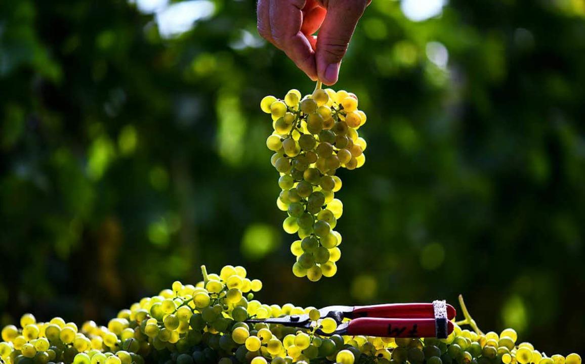 Während in Breisach gefeiert wird, wer...nd am Tuniberg schon Trauben geerntet.  | Foto: dpa