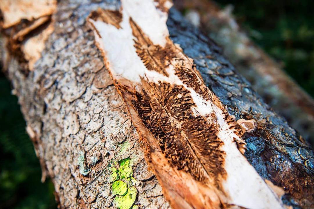 Eine vom Borkenkäfer befallene Fichte.  | Foto: dpa