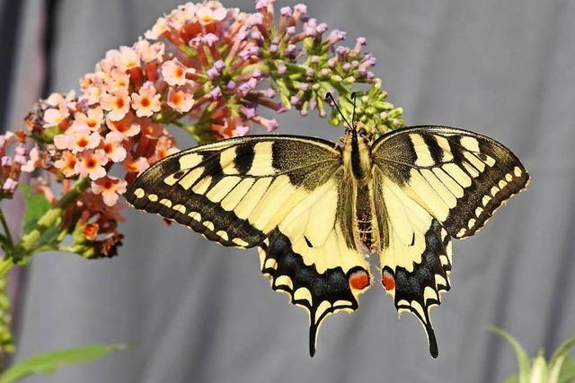 Ramona Engel aus Grenzach-Wyhlen hat ein Herz für Schmetterlinge