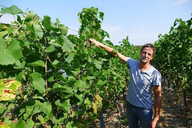 Gekürzte Laubwand soll Zucker in den Weintrauben reduzieren