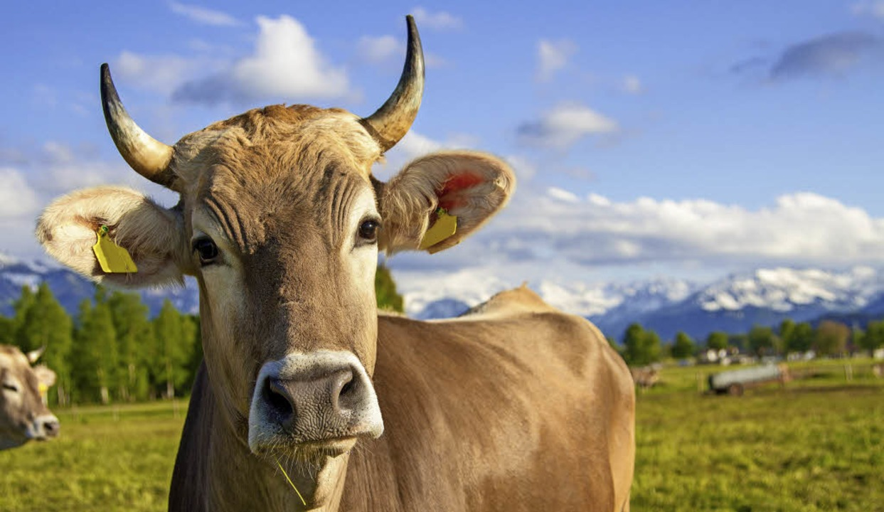Mach mal muh!  Allgäuer Kühe sind brau... Milch für die Produkte der Käsereien.    Foto: Dozey (stock.adobe.com)