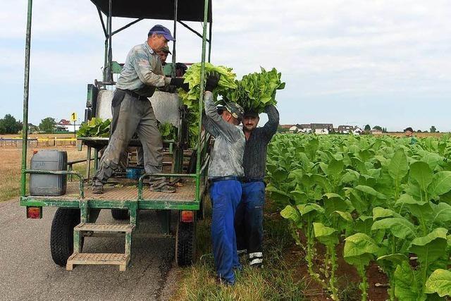 Tabakernte: Starke Einbußen, wenn nicht bewässert wird