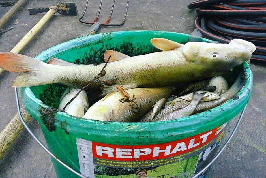 Tote Fische müssen in Reute aus der Gl...ermeister Michael Schlegel kritisiert.  | Foto: Gemeinde Reute