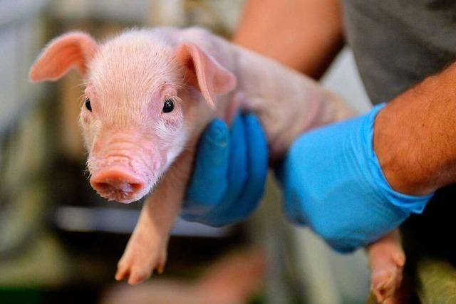 Freiburger Kokosöl-Kritikerin arbeitete wohl für deutsche Schweineschmalz-Industrie