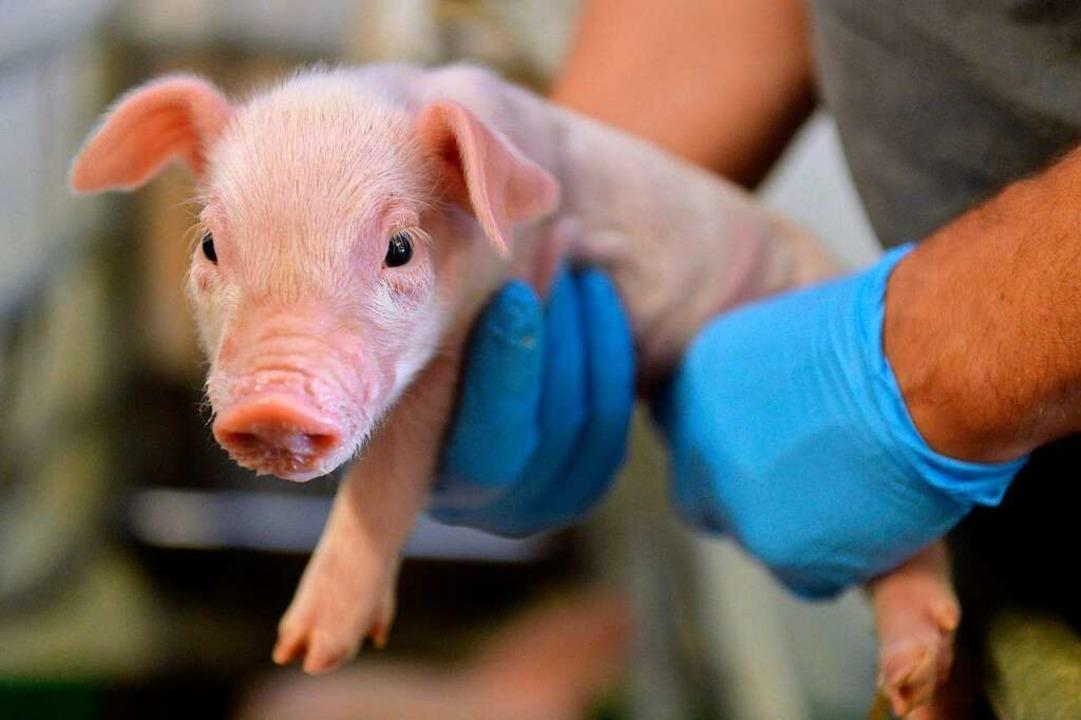 Schmalzlieferant Schwein: Gesünder als...Behauptet eine Freiburger Professorin.  | Foto: dpa