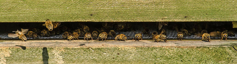 Rund 100000 fleißige Bienchen arbeiten...n Diensten der Emmendinger Stadtwerke.  | Foto: Stadtwerke Emmendingen