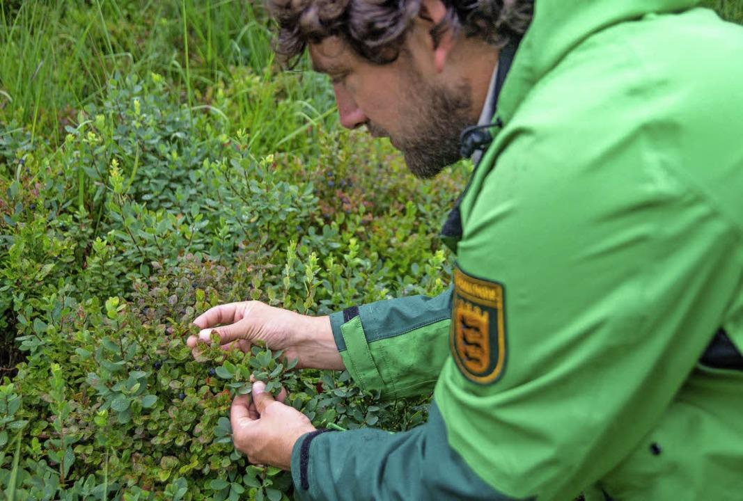 Auf Heidelbeerkontrolle gehen Ranger d...erhalb werden immer wieder überprüft.   | Foto: Daniel Müller/Nationalpark