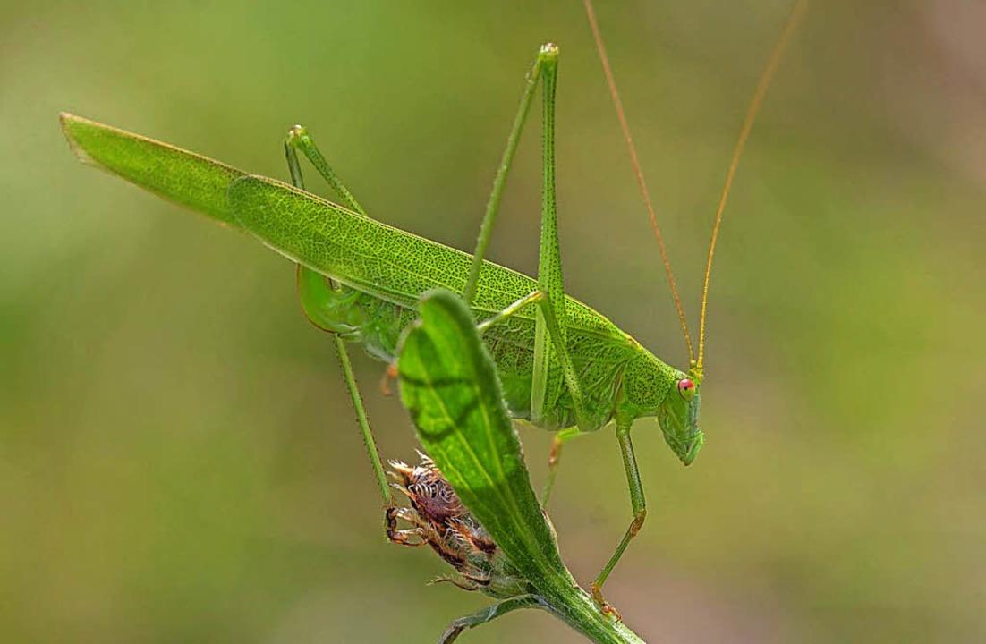 Die gemeine Sichelschrecke kommt aus d...d zirka viermal länger als ihr Körper.    Foto: Christine Weirich