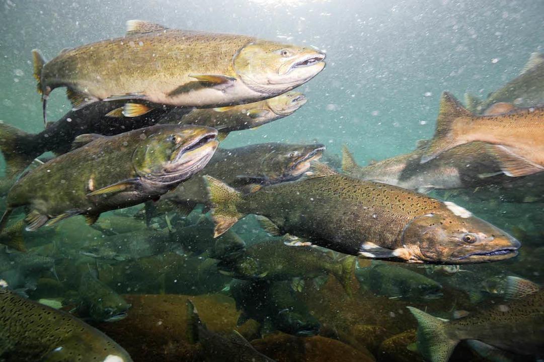 Lachse sind Raubfische und könnten so die chilenische Fischwelt dezimieren.     Foto: stock.adobe.com