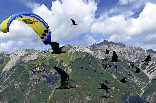 Waldrappe folgen folgsam dem Leit-Flieger
