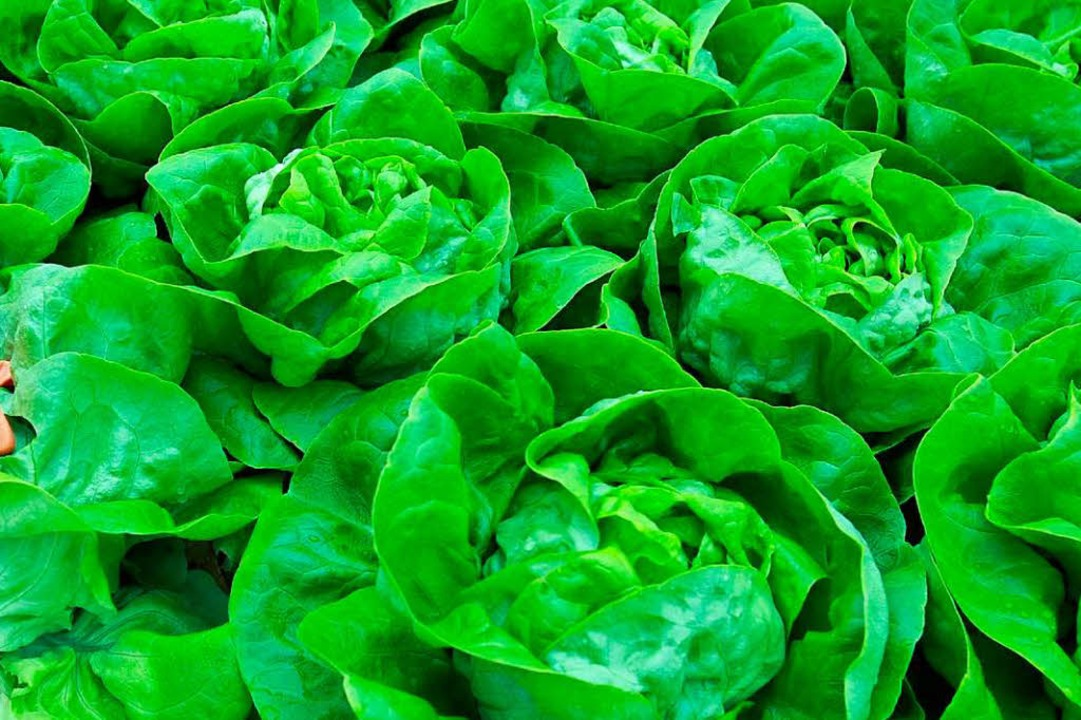 In einer Probe seien beim Salat eines ...lte die Gemüsering Stuttgart GmbH mit.  | Foto: dpa