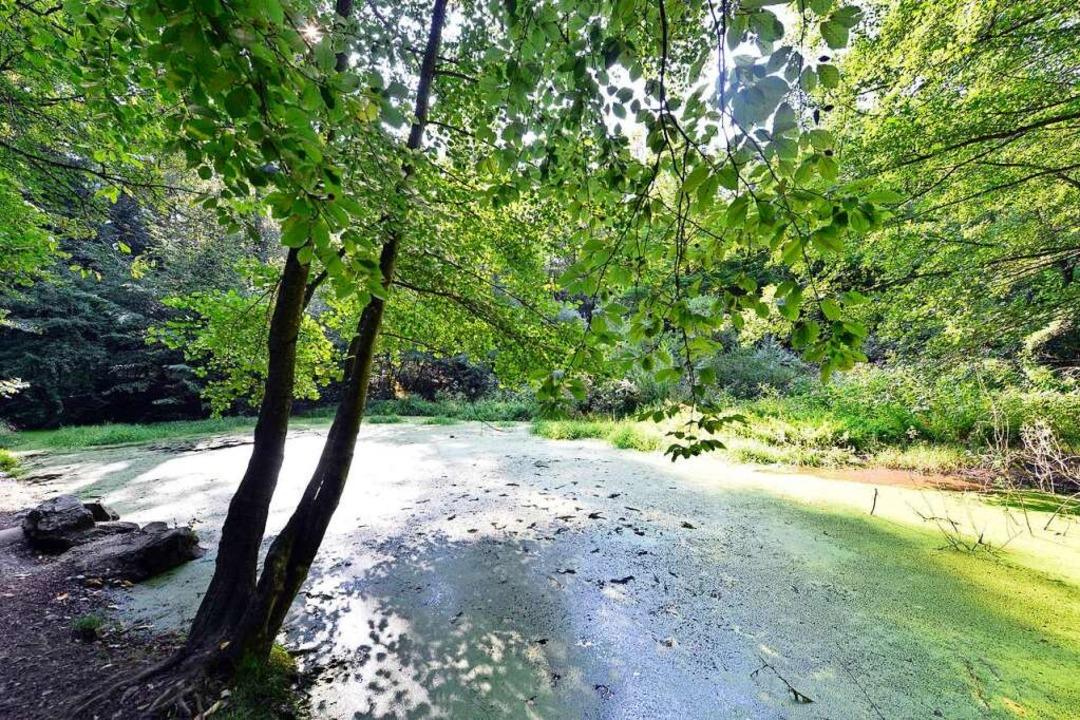 Der Rehweiher ist  komplett mit Wasserlinsen bedeckt.  | Foto: Michael Bamberger