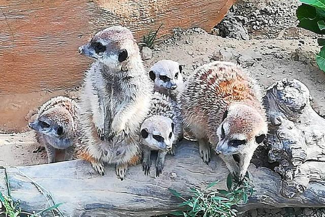 Lahrer Erdmännchen haben weitere vier Babys