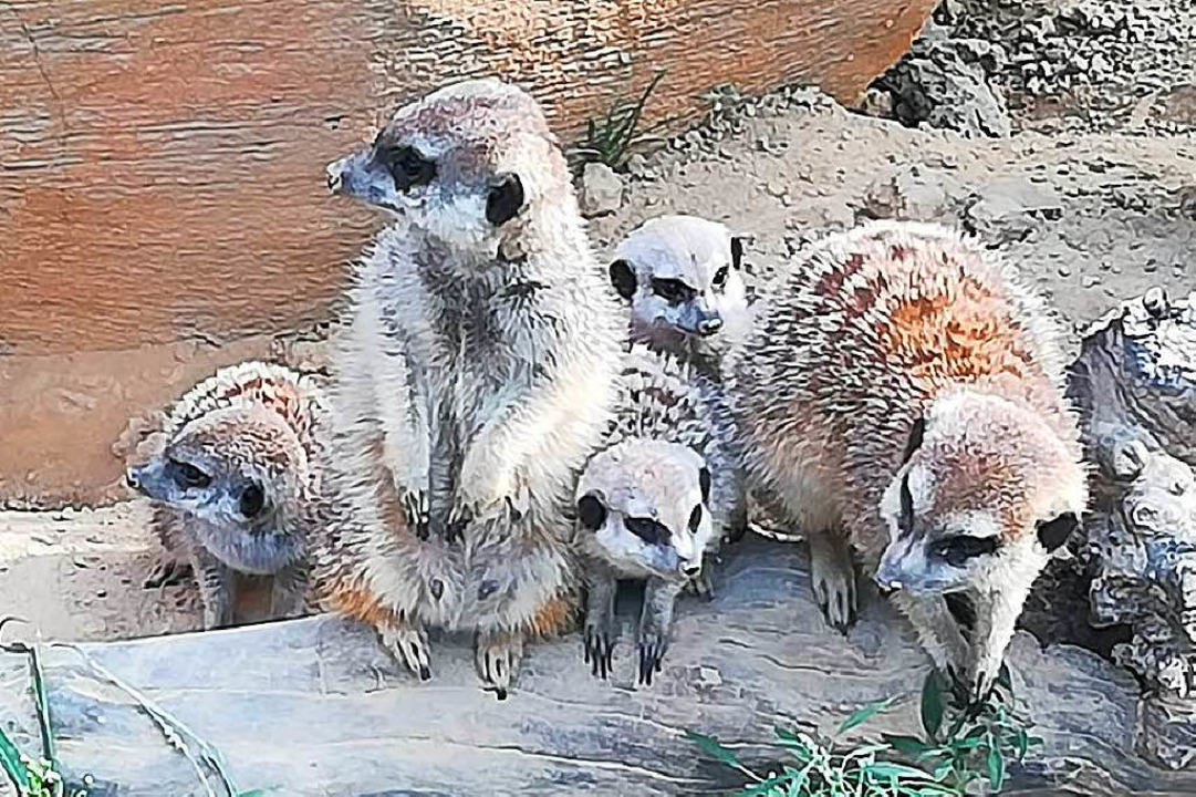 Die Erdmännchen-Familie im Stadtpark hat Zuwachs erhalten.  | Foto: Stadt Lahr