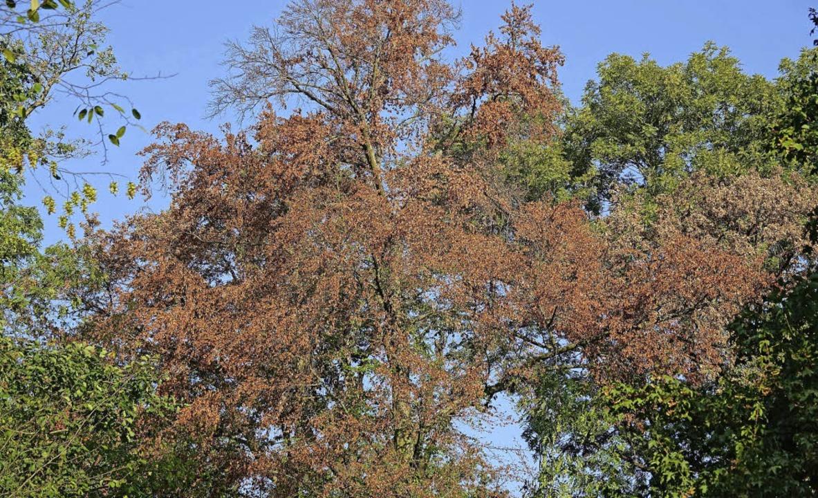 Bei Trockenheit werfen Bäume ihre Blätter früher ab, um sich zu schützen.   | Foto: Urs Weber