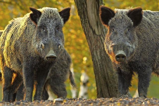 Europas Kampf gegen die Schweinepest