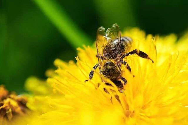 Wenn Bienen beim Ausschwärmen ausgetrickst werden