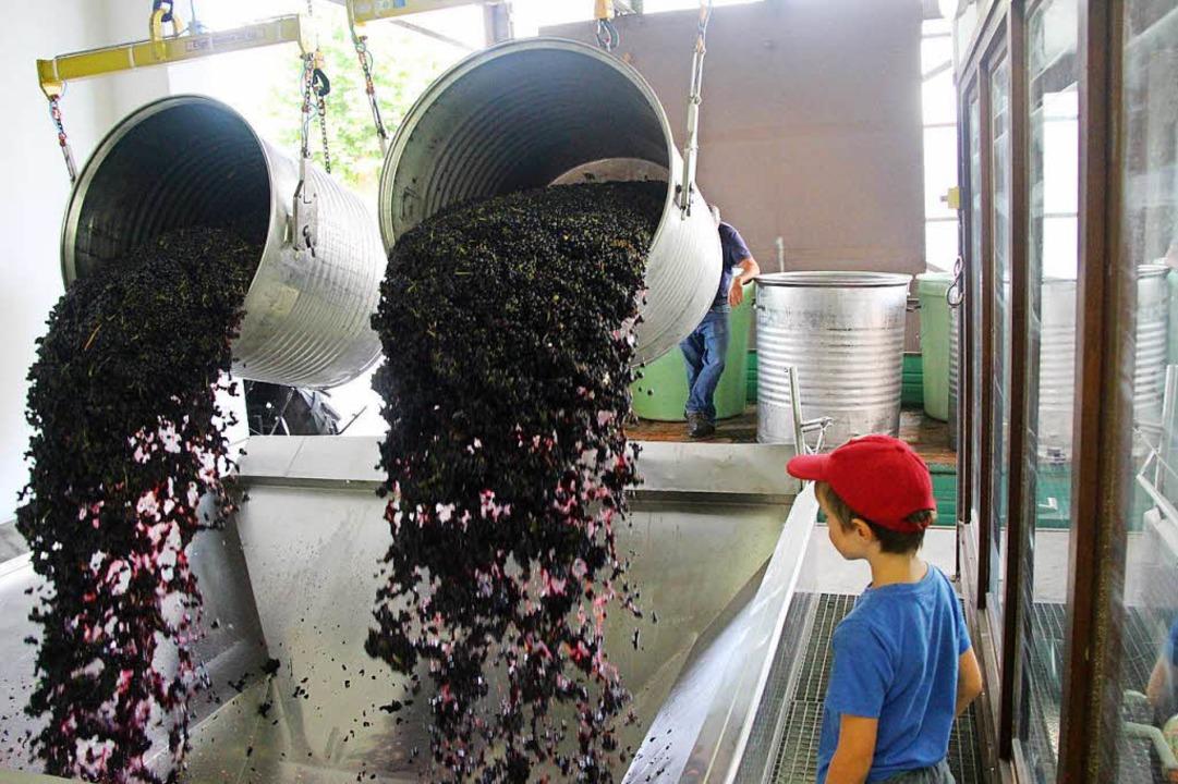 Die Winzer und ihre Helfer sammelten  rote Trauben ein.  | Foto: Horst David