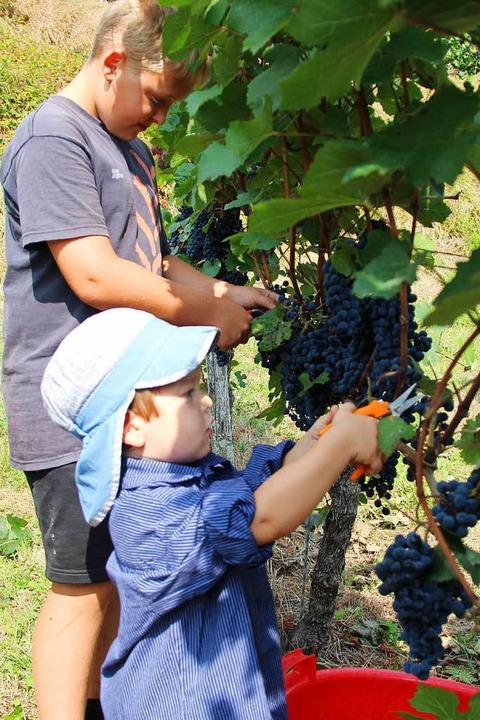 Junge Helfer bei der Weinernte  | Foto: Horst David