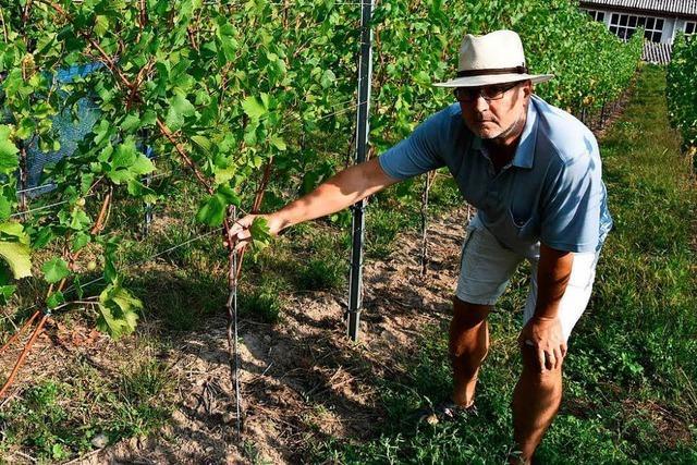 Abgeschnittene Früchte: Unbekannte stehlen Rheinfelder Winzern die Trauben