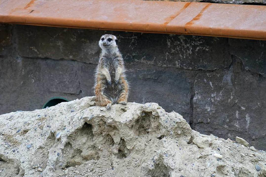 Die kleinsten Raubtiere des Parks: Erdmännchen.  | Foto: Florian Kech