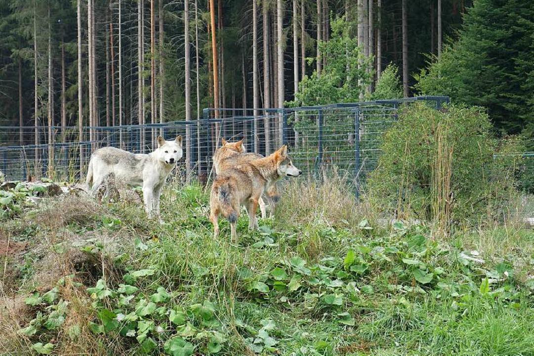 Die betagten Wölfe wurden vom Vorgängerpark übernommen. Nicht im besten Zustand.  | Foto: Florian Kech