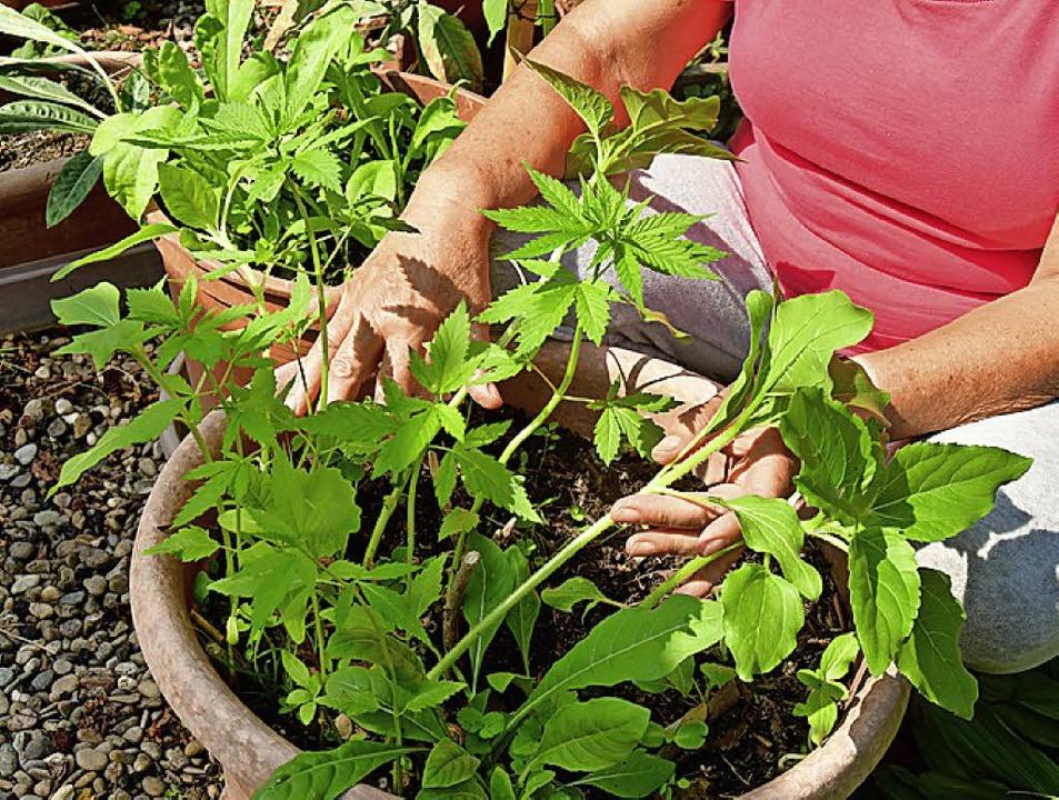 Wenig berauschend:  Hanfpflanze aus Vogelsamen.    Foto: erggelet