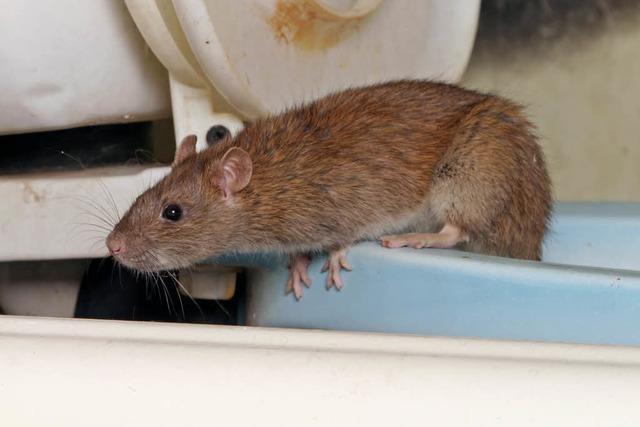 Feuchttücher verstopfen Freiburgs Kanalisation, Ratten basteln Nester aus Tampons