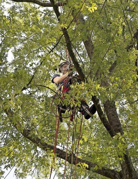 Die Fertigkeiten als Baumkletterer übt...n Pfefferer Baumkultur angeboten hat.   | Foto: Volker Münch