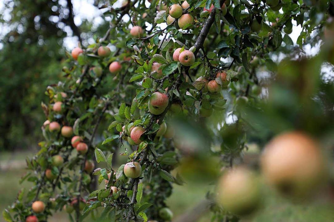 Die Apfelbäume sind voll behangen.  | Foto: Christoph Breithaupt