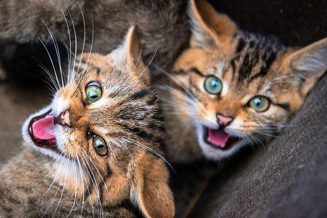 Wie durch Trüffelkulturen der Wildkatze geholfen werden soll