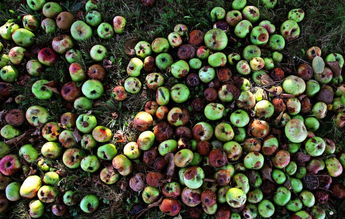 Vom Baum gefallene Äpfel – manche sind schon angefault.  | Foto: dpa
