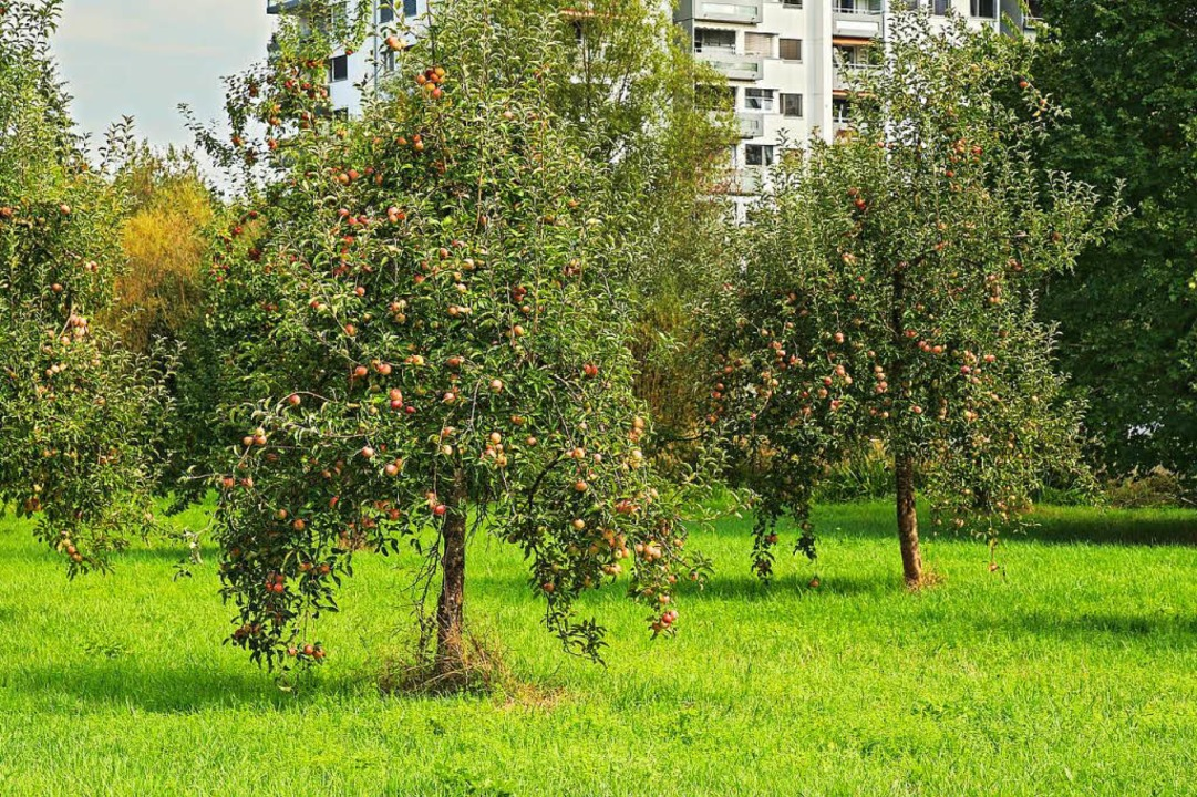 Die Apfelbäume auf dem Dinkelberg sind...e auf den Wiesen, meint ein BZ-Leser.   | Foto: Copyright Lebeuch