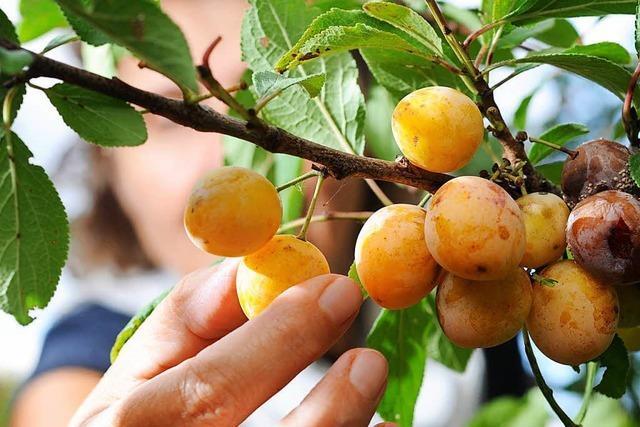 Darf man Obst am Wegrand pflücken?