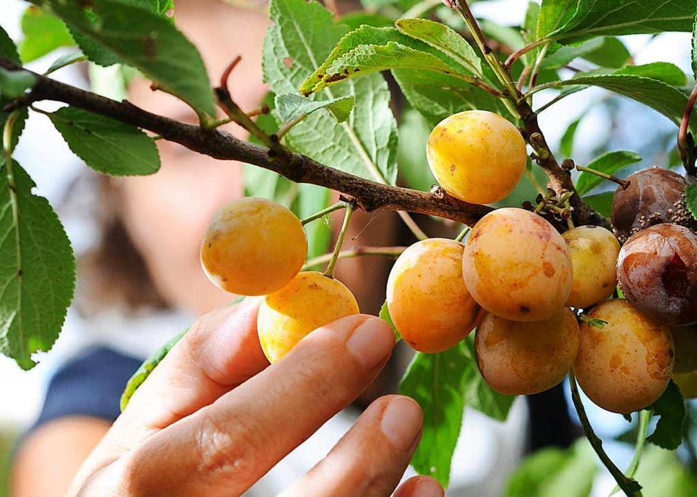 Darf man Obst am Wegrand pflücken?  | Foto: dpa