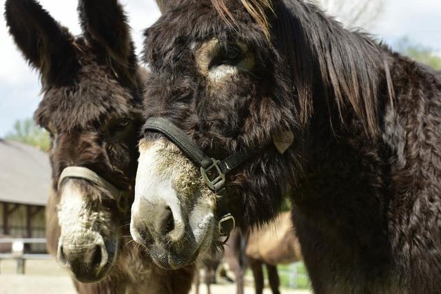 Polizei bringt zwei ausgebüxte Esel aus Ihringen sicher nach Hause