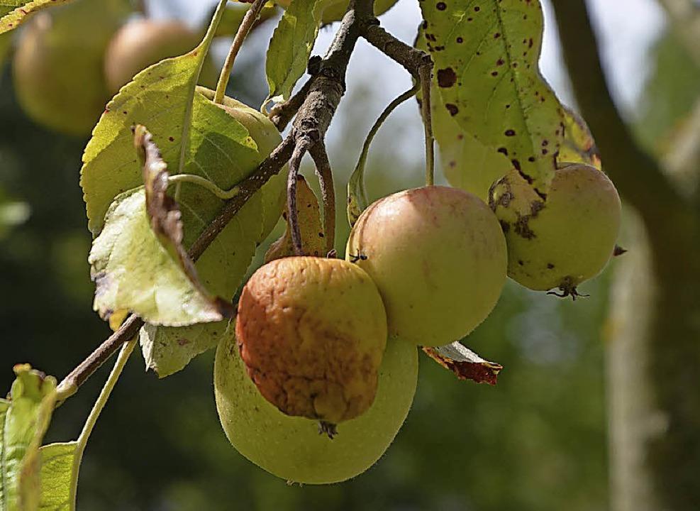 Auf wasserdurchlässigen Böden leiden d...schädigt die dünne Schale der Früchte.    Foto: glaser