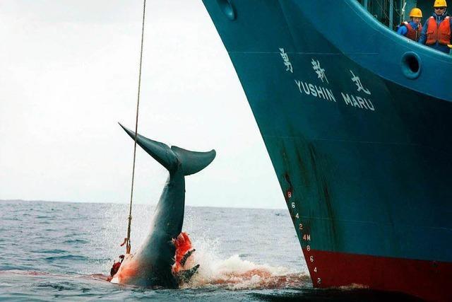 Steht das internationale Walfangverbot auf der Kippe?