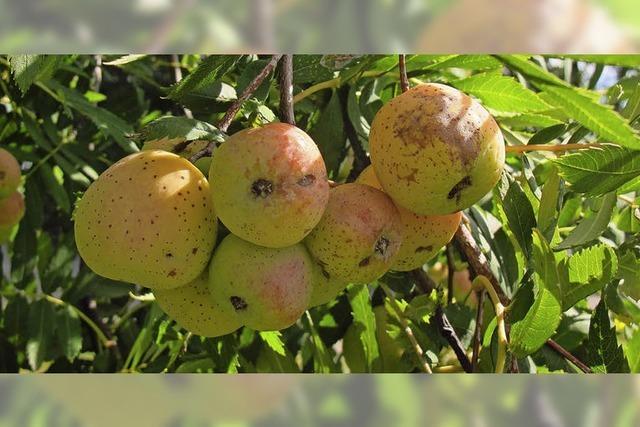 Bäume hängen voller Äpfel und Birnen