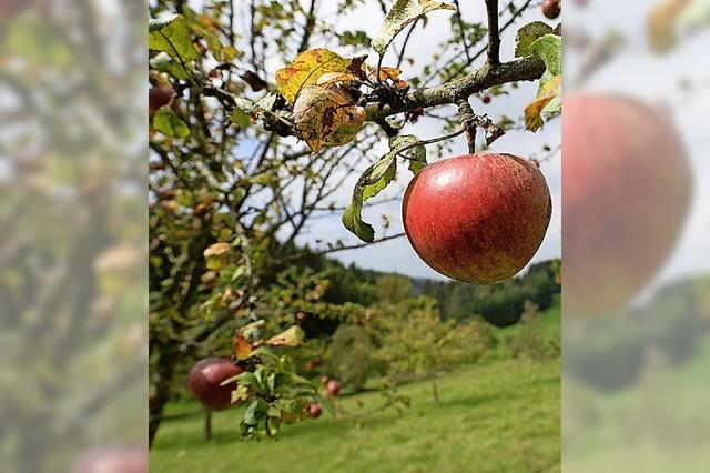 Annahme von Äpfeln von Streuobstwiesen