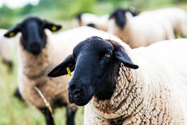 Wieder tote Schafe - Tiere sollen besser vor Wolf geschützt werden