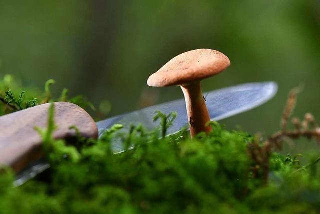 Die Pilzausbeute ist in dieser Saison ziemlich mager