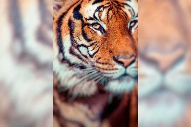 Die Tigerin, die Menschen frisst