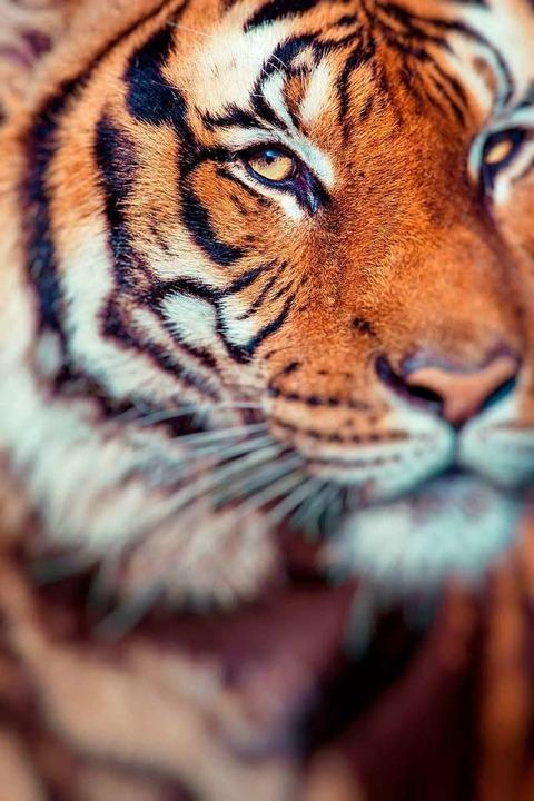 Dieser Tiger ist zwar nicht T1, möglicherweise aber auch ziemlich hungrig.   | Foto: Stock.adobe.com